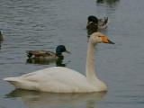 Whooper Swan, Caerlaverock WWT, Dumfries