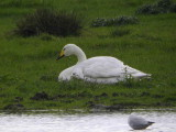Whooper Swan, Carbarns Pond, Clyde