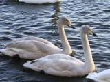 Whooper Swan, Hogganfield Loch, Clyde