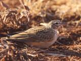 Somali Short-toed Lark, Liben Plain, Negele