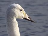 Whooper Swan (1st Winter), Hogganfield Loch, Glasgow