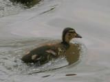 Mallard (duckling), Caerlaverock WWT, Dumfries