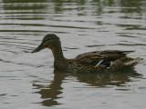 Mallard (duck), Caerlaverock WWT, Dumfries