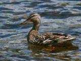 Mallard (duck), Sallochy Bay, Loch Lomond, Clyde