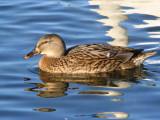 Mallard (duck), Hogganfield Loch, Glasgow
