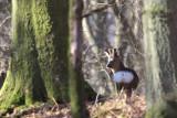 Roe Deer near Balmaha, Loch Lomond