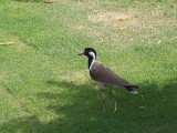 Red-wattled Lapwing, Red Fort, Delhi
