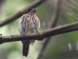 Rufous-sided Broadbill, Kakum NP, Ghana