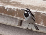 African Pied Wagtail, Royal Beach Hotel, Accra, Ghana