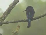 Black Bee-eater, Kakum NP, Ghana