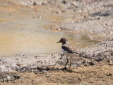 Forbes's Plover, Mole NP, Ghana
