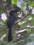 Black Dwarf Hornbill, Kakum Forest NP, Ghana
