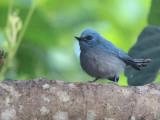 African Blue Flycatcher, Mole NP, Ghana