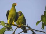 African Green Pigeon, Mole NP, Ghana