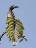 African Grey Hornbill, Mole NP, Ghana