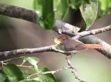 Chestnut-capped Flycatcher, Kakum NP, Ghana