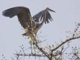 Grey Heron, Mole NP, Ghana