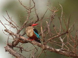 Grey-headed Kingfisher, Mole NP, Ghana