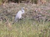 Intermediate Egret, Mole NP, Ghana