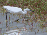 Little Egret, Winneba Lagoon, Ghana