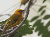 Orange Weaver, Hans Cottage, Ghana