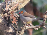 Orange-cheeked Waxbill, Mole NP, Ghana