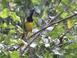 Oriole Warbler, Winneba Plain, Ghana