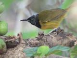 Oriole Warbler, Mole NP, Ghana
