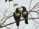 Pied Crow, Kakum NP, Ghana
