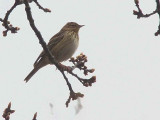 Tree Pipit, Bishop Loch LNR, Glasgow