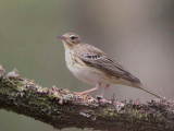 Tree Pipit, Sallochy Wood-Loch Lomond, Clyde