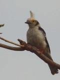 White Helmet-shrike, Mole NP, Ghana