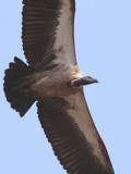 White-backed Vulture, Mole NP, Ghana