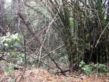 Bamboo clump, Bobiri Reserve, Ghana
