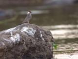 Rock Pratincole, Kavango River, Caprivi