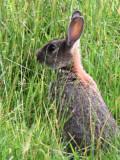 Rabbit, Loch Lomond NNR, Clyde