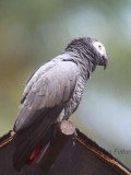 Grey Parrot, Bom Bom Resort, Príncipe