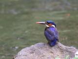 São Tomé Kingfisher, Agua Grande, São Tomé