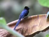 São Tomé Paradise Flycatcher (male), Agua Grande, São Tomé