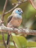 Blue-breasted Cordonbleu, Residencial Avenida Hotel, São Tomé city