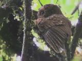 São Tomé Scops Owl, Cao Grande, São Tomé