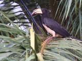 African Pied Hornbill. Ipassa Research Station- Makokou, Gabon