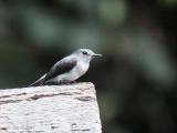 Cassin's Flycatcher, Mpivie River-Loango NP, Gabon