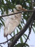 Cattle Egret, Libreville, Gabon