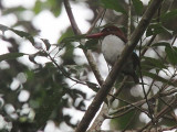 Chocolate-backed Kingfisher, Ipassa Research Station-Makokou, Gabon