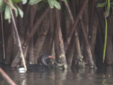 African Finfoot (male), Akaka-Longo NP, Gabon
