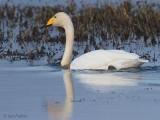 Whooper Swan, Crom Mhin Bay-Loch Lomond, Clyde