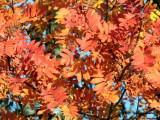 Rowan Tree, Low Mains-Loch Lomond NNR