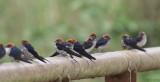 Lesser-striped Swallow, Makokou, Gabon