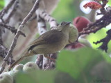Little Greenbul, Lope NP, Gabon